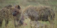 Hyenas eating wildebeest kill, gnawing, medium close