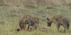 Hyenas eating wildebeest kill, one walks away medium wide shot