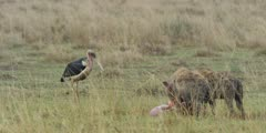 Hyenas eating wildebeest kill, marabou approaches slowly, wide shot