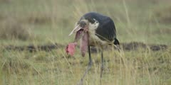 Marabou Stork eats meat taken from hyena kill, close shot
