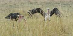 Marabou Storks eating scraps at hyena kill, medium wide