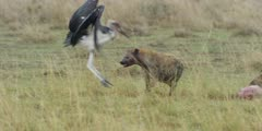 Hyena drags wildebeest carcass then chases marabou stork