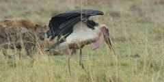 Marabou Storks lurking near hyena kill