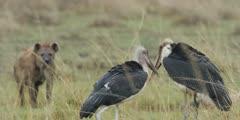 Marabou Storks near hyena kill, close shot