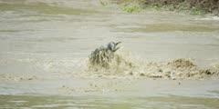 Wildebeest swimming across the Mara river, close shot