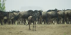 Wildebeest calf, alone after crossing the Mara River