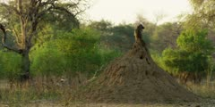 Chacma Baboon - keeping watch from anthill, wide