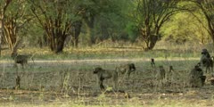 Chacma Baboon - troop foraging under the trees