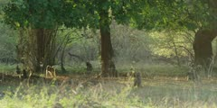 Chacma Baboon - troop foraging under the trees 2