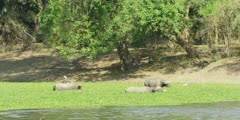 African Buffalo - bulls grazing on water hyacinth, wide