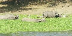 African Buffalo - bulls grazing on water hyacinth, close shot, oxpecker on back