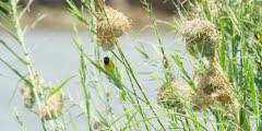 Masked weavers - male enters nest