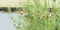 Masked weavers - nests on reeds in the Zambezi, wide shot