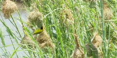 Masked weavers - male on nest