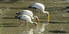 Yellow-billed stork - flock feeding in muddy channel
