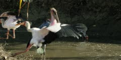 Marabou stork - standing next to water