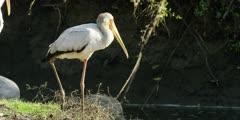 Yellow-billed stork - standing on bank, medium shot