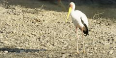 Yellow-billed stork - standing on bank