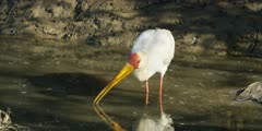 Yellow-billed stork - hunting for food in water