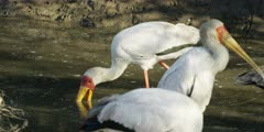 Yellow-billed stork - hunting for food in water 2
