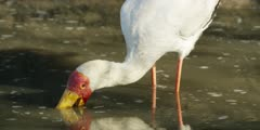 Yellow-billed stork - hunting for food in water, close
