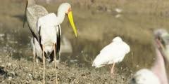 Yellow-billed stork - preening