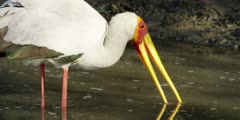 Yellow-billed stork - hunting for food in water, close shot