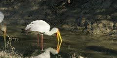 Yellow-billed stork - hunting for food in water, wide shot