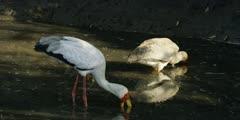 Yellow-billed stork - hunting for food in water, medium shot 2