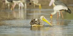 Pelican - feeding in drying channel 2