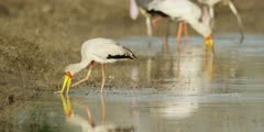 Yellow-billed stork - feeding in drying channel, using foot to find food