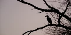 Ground Hornbill - silhouette in tree at dusk, wide shot