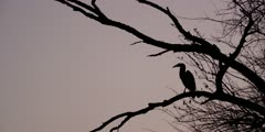 Ground Hornbill - silhouette in tree at dusk, wide shot 2