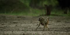 Chacma Baboon - mother walking carrying baby