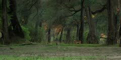 Impala - standing in forest, golden light, wide shot