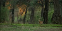Impala - standing in forest, golden light, medium shot
