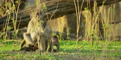 Chacma Baboon - adult with small baby