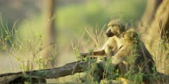 Chacma Baboon - adults keeping watch