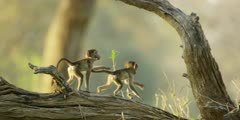 Chacma Baboon - babies playing on tree trunk 3