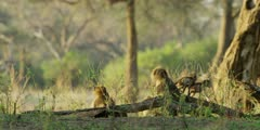 Chacma Baboon - babies playing near adults