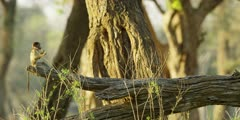 Chacma Baboon - babies playing on tree trunk 4