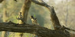 Chacma Baboon - babies playing on tree trunk 5