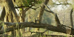 Chacma Baboon - babies playing on tree trunk, wide