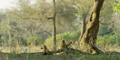 Chacma Baboon - babies leave adults, wide shot