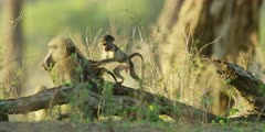 Chacma Baboon - three babies returning to adults