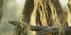 Chacma Baboon - babies playing on tree trunk 7