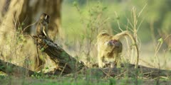 Chacma Baboon - adult leaves, babies following