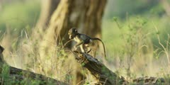 Chacma Baboon - baby runs along trunk to adults
