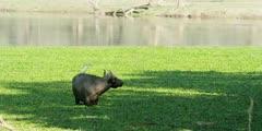 African Buffalo - startles, oxpecker flies off back