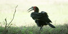 Ground Hornbill - walking along in shade, medium shot